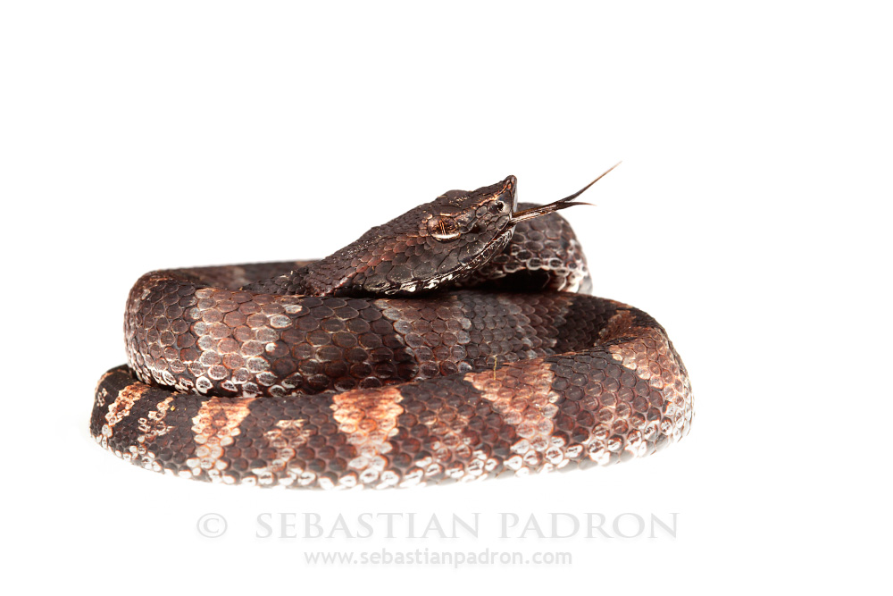 Bothrocophias microphthalmus