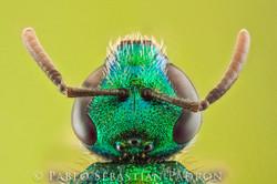 Halticidae - USA