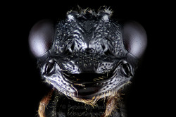 Pelecinidae