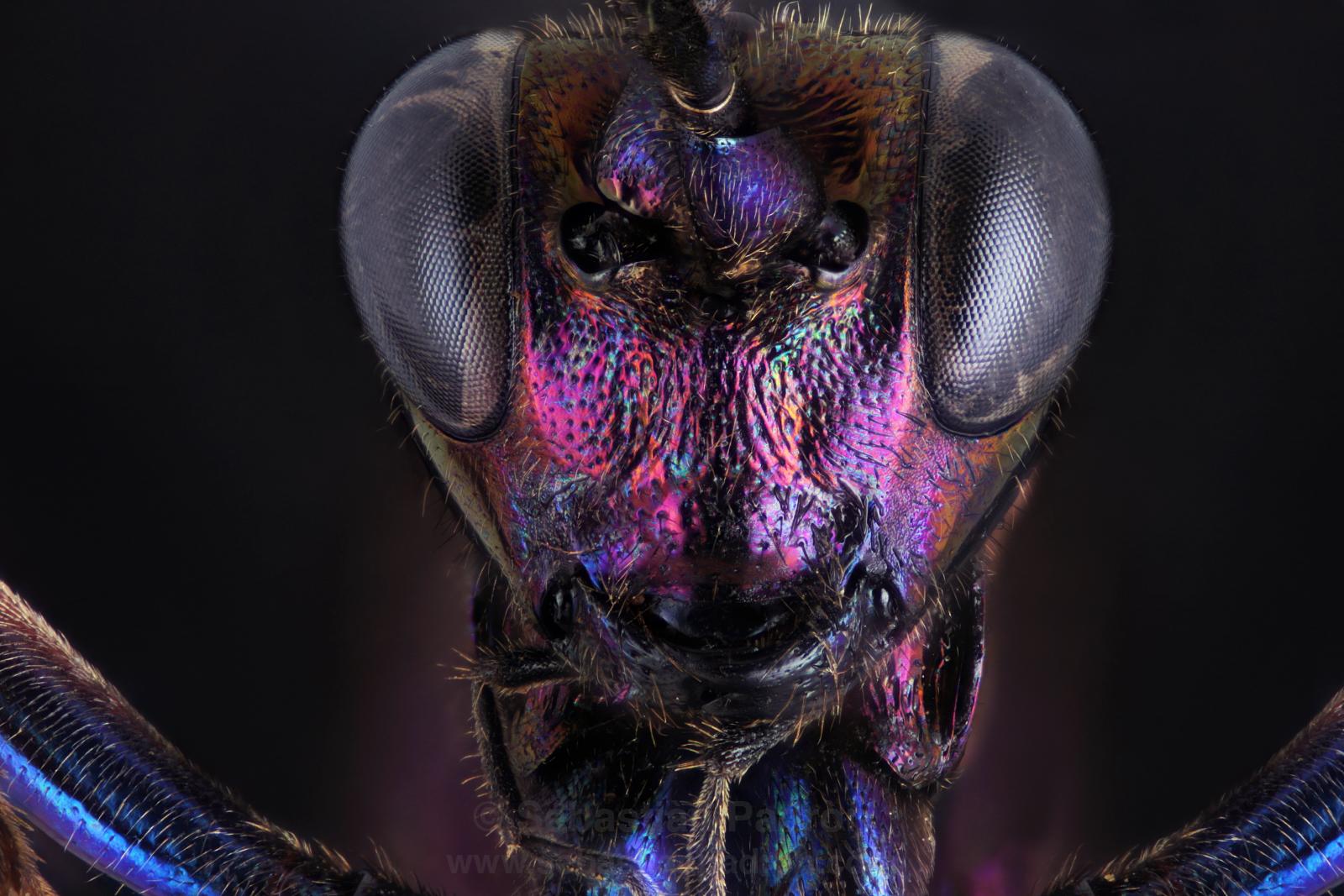 Ichneomonidae  Trachyspyrus?