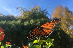 Mariposa Monarca- USA