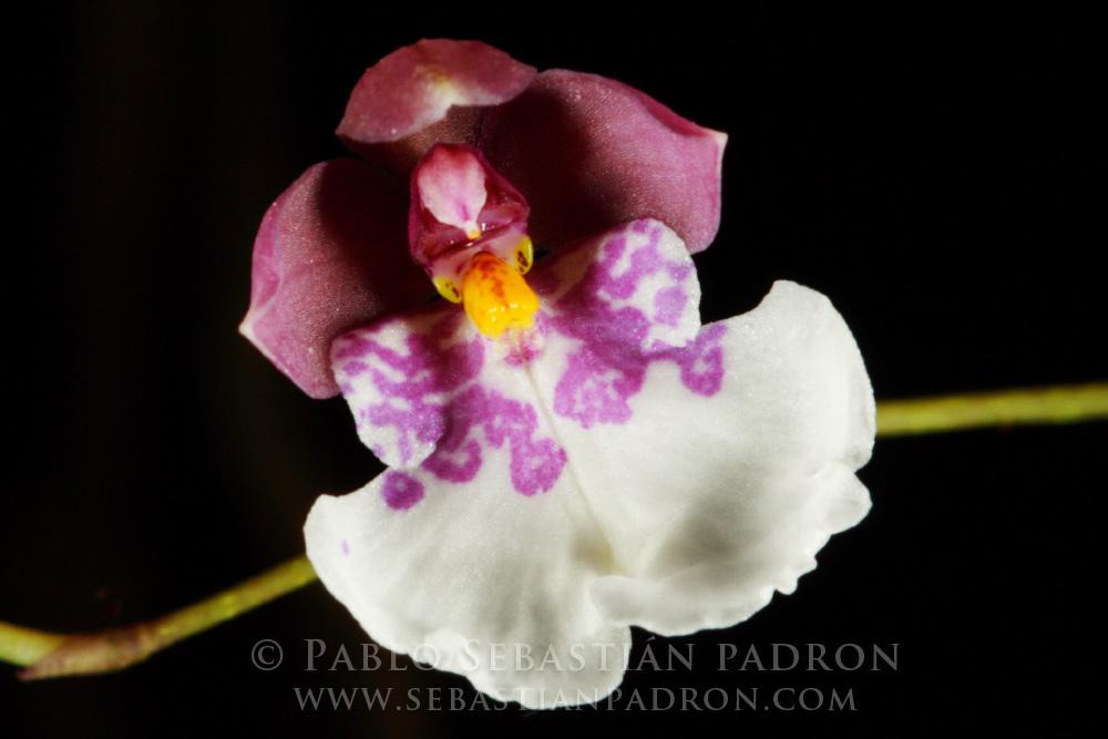 Orchidaceae 5 -  Ecuador