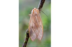 Arctidae - Ecuador