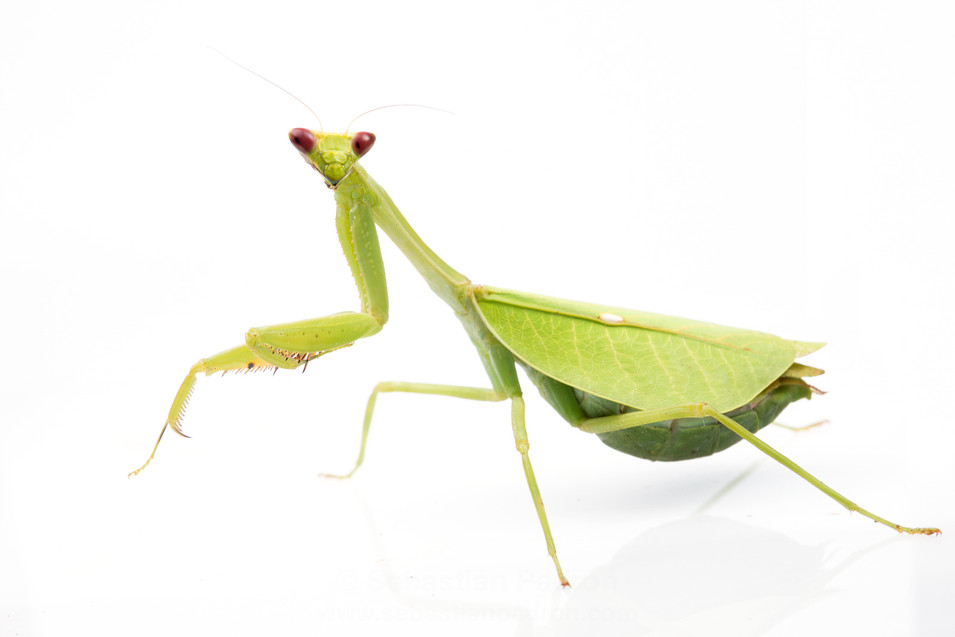 Pseudoxyops perpulchra Female