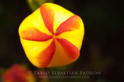 Gentianella hirculus 4 - Ecuador