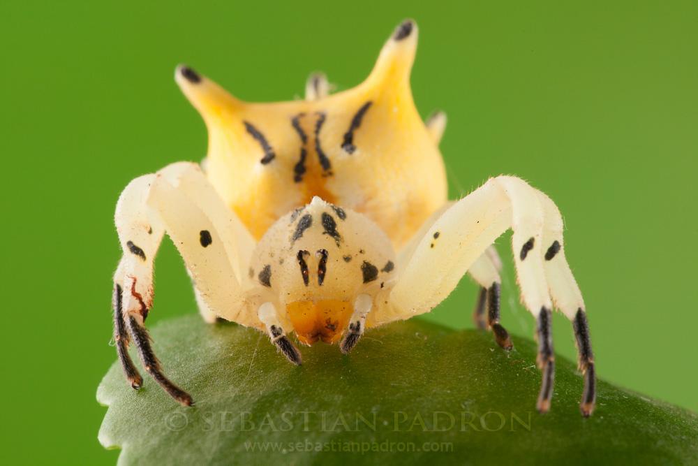Epicadus heterogaster - Ecuador