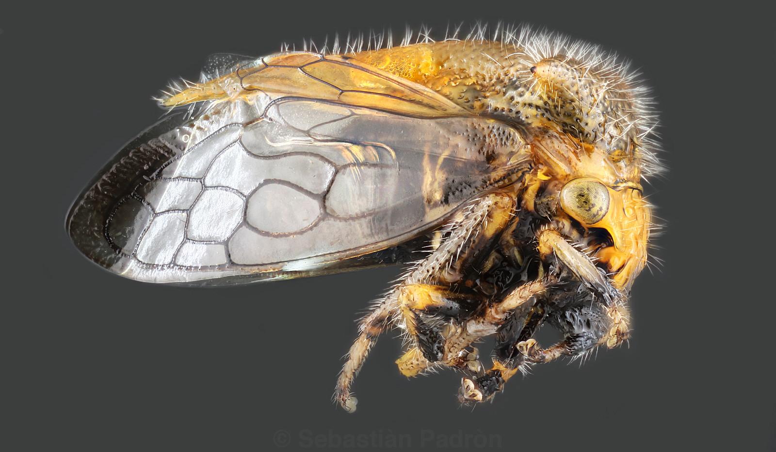Membracidae.jpg
