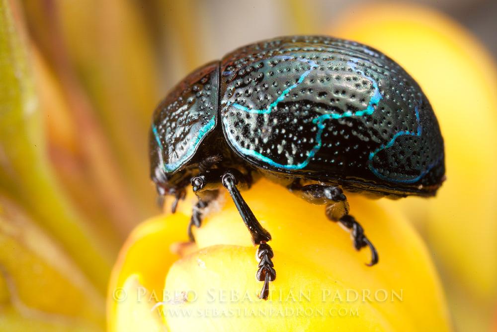 Chrysomelidae 7 - Ecuador
