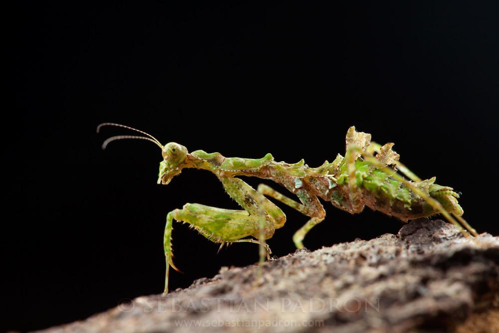 Pseudopogonogaster hebardi