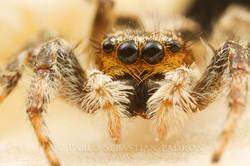 Salticidae 4 - Ecuador