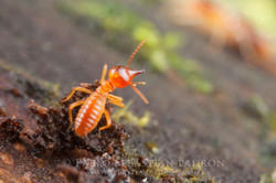 Termite 2 Ecuador