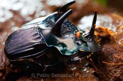 Phanaeus sp. - Ecuador