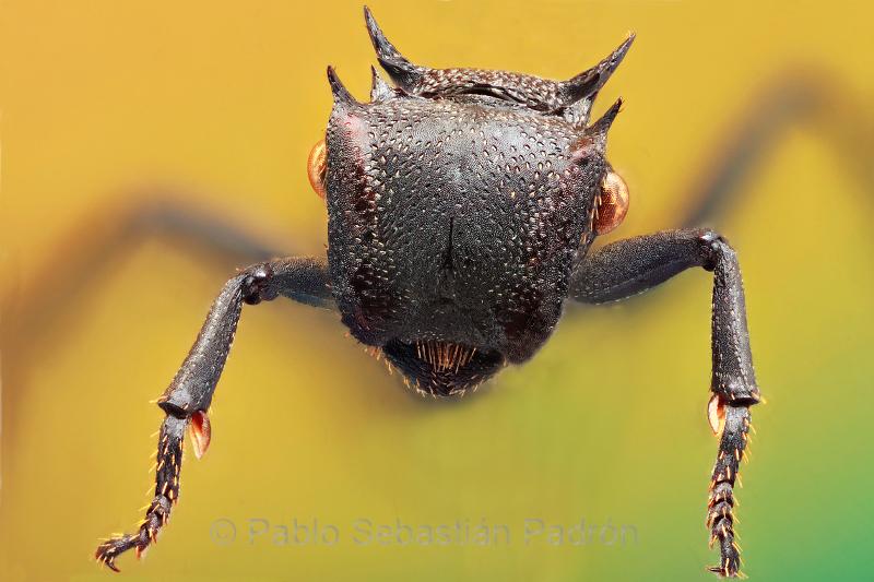 Cephalotes sp 3 - Ecuador