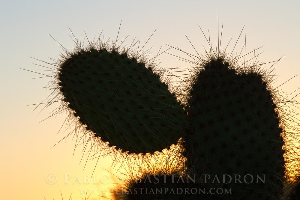 Opuntia sp. - Galapagos Ecuador