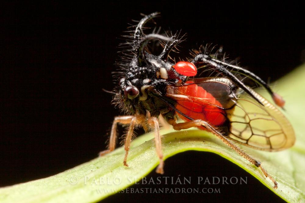 Membracidae Ecuador