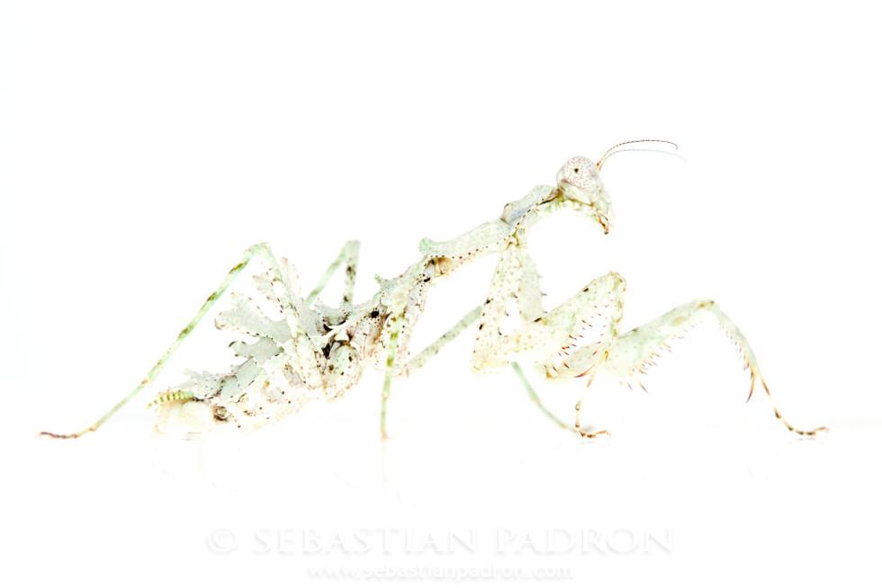 Pseudopogonogaster hebardi Female