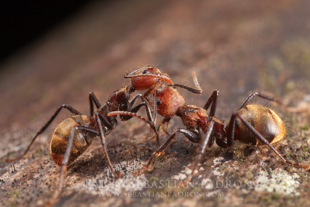 Hormiga 5 -  Ecuador