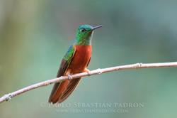 Boissonneaua matthewesi - Ecuador