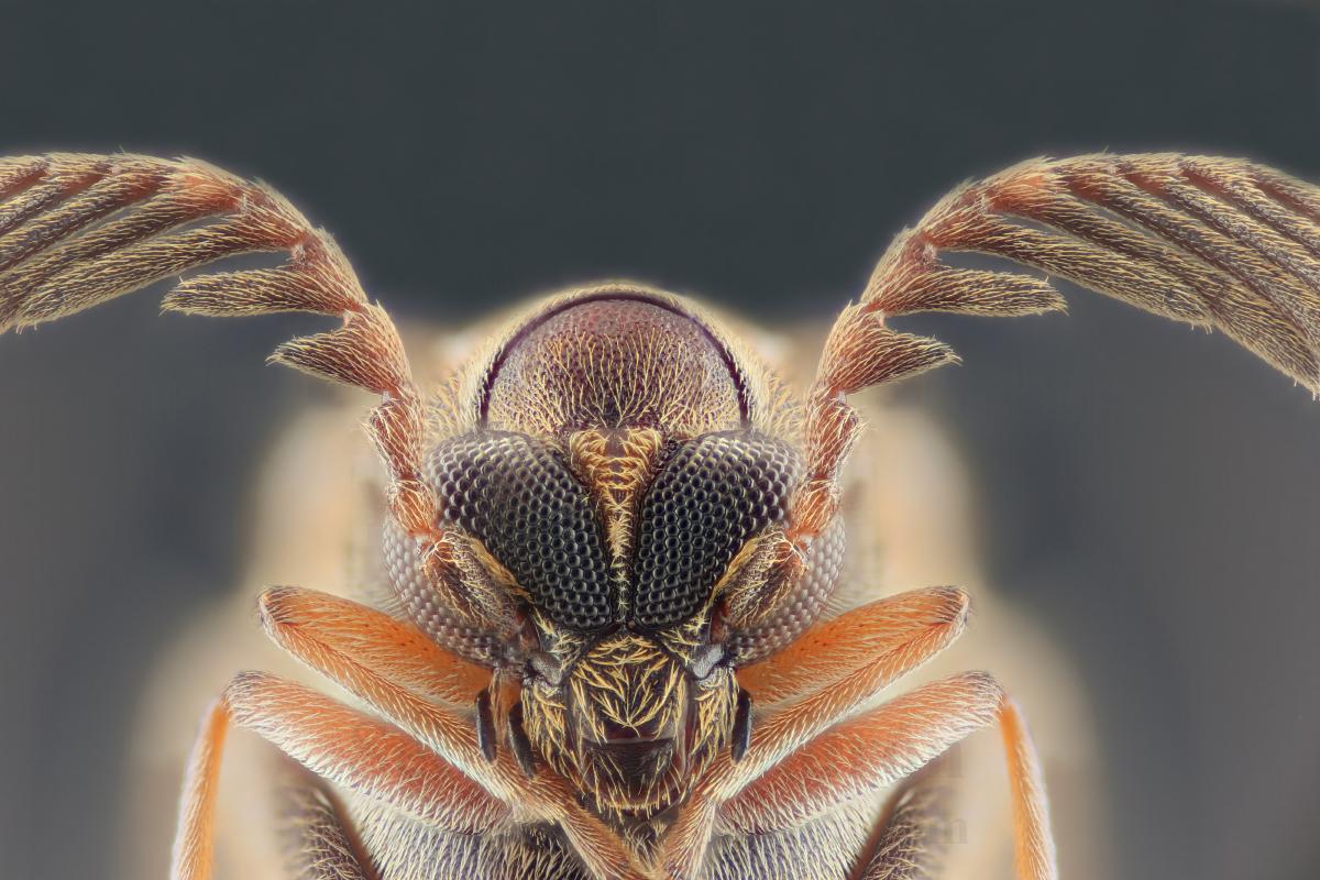 Rhipiphoridae