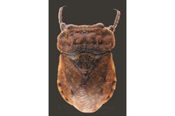 Gelastocoridae