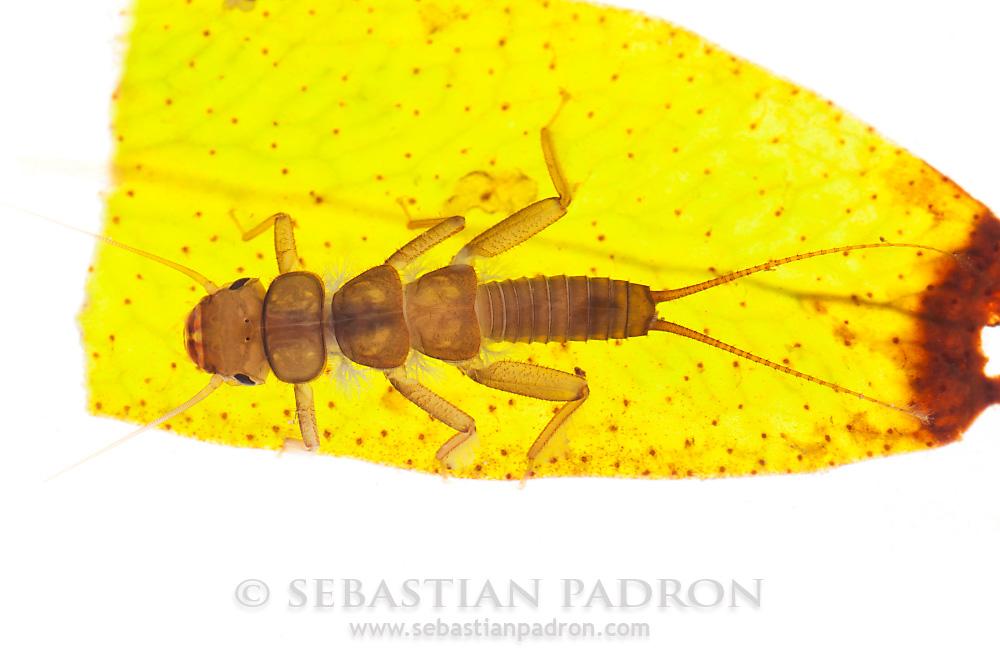 Plecoptera - Ecuador