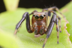 Salticidae 2 - Ecuador