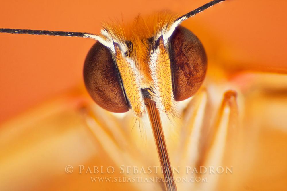 Nymphalidae USA