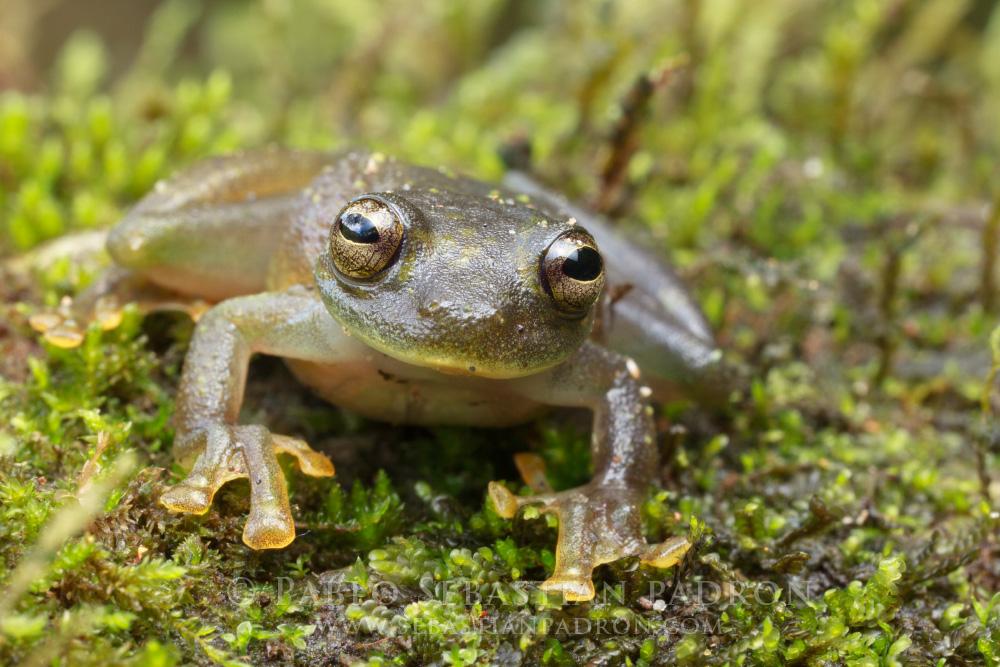Centrolenidae - Ecuador