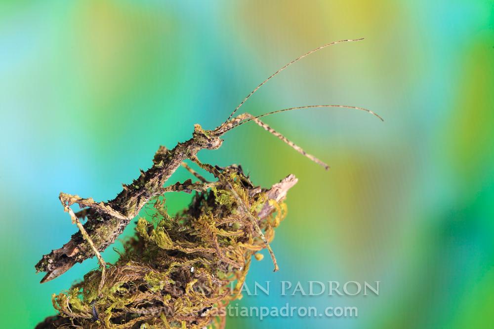 Parobrimus sp. -Ecuador
