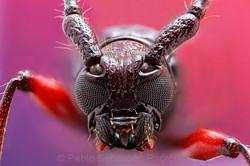 Cerambycidae 2 - Ecuador