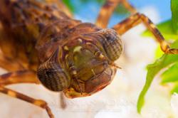 Ninfa Odonata  - Ecuador