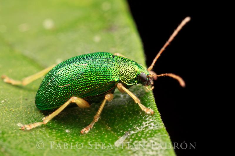 Chrysomelidae 2 - Ecuador
