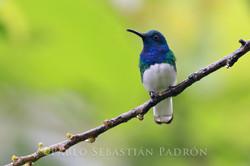Florisuga mellivora - Ecuador