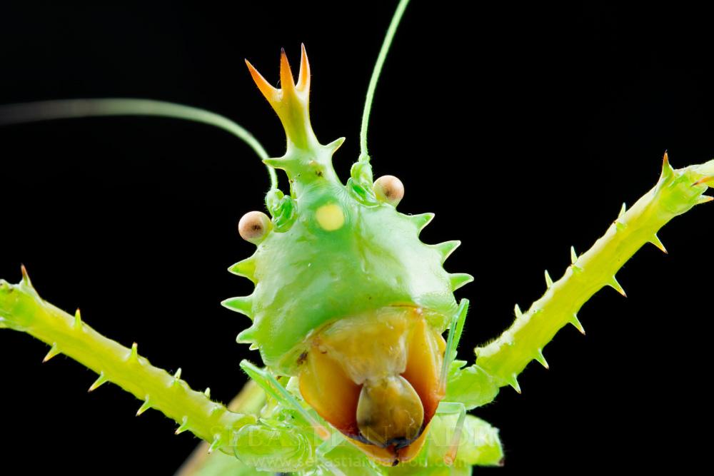 Panacanthus cuspidatus