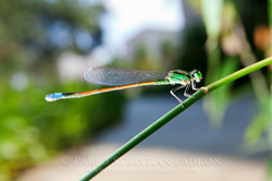 Damselfly  Gainesville