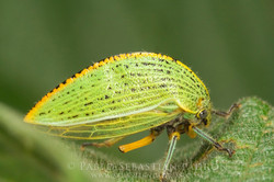 Membracidae2 Ecuador