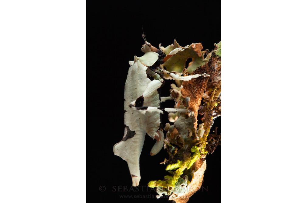 Lichenomorphus sp.