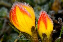Gentianella hirculus 2 - Ecuador