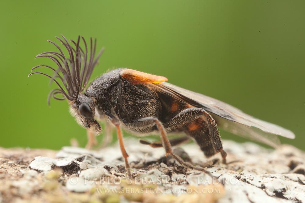 Rhipiphoridae - Ecuador