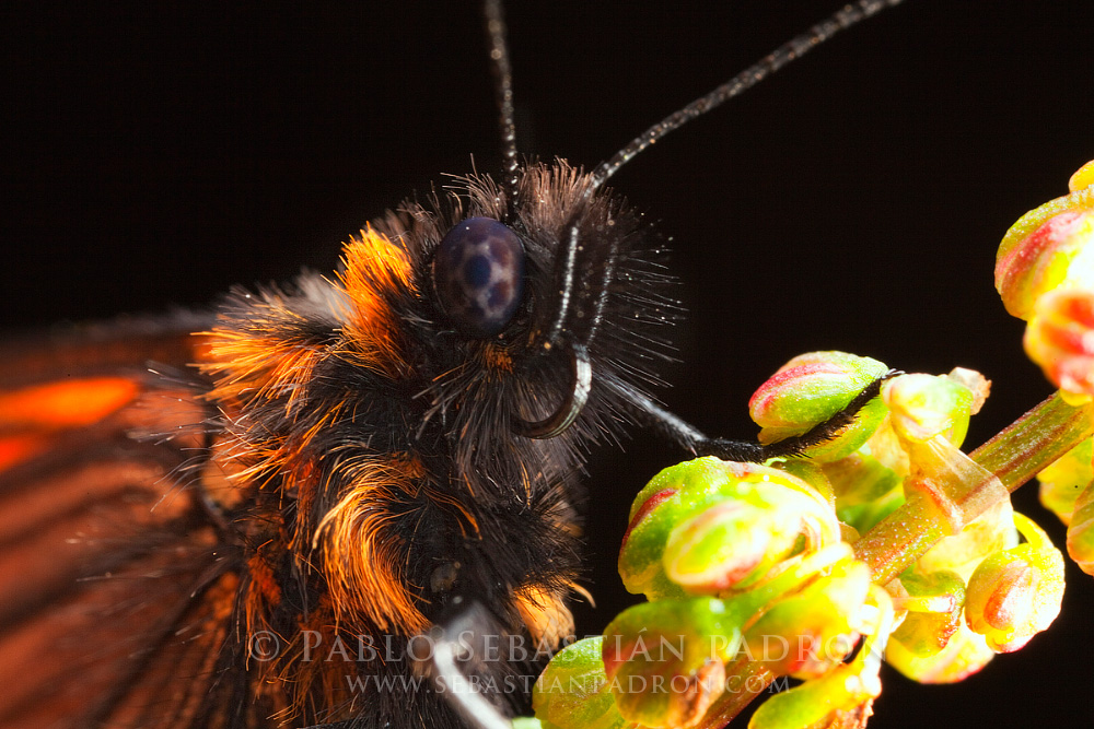Actinote sp. - Ecuador