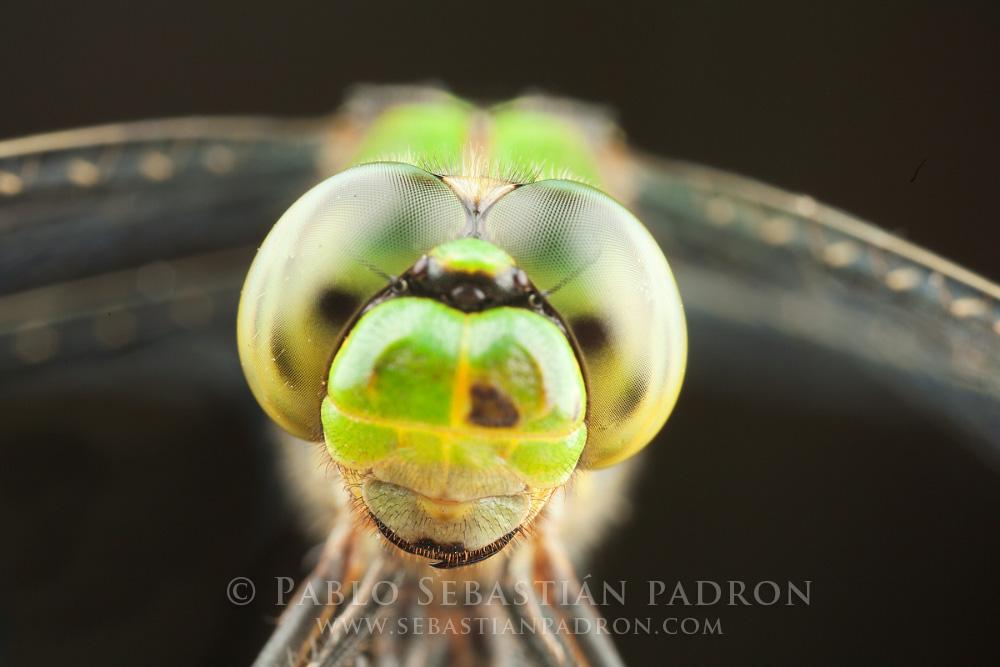 Dragonfly  Gainesville FL.