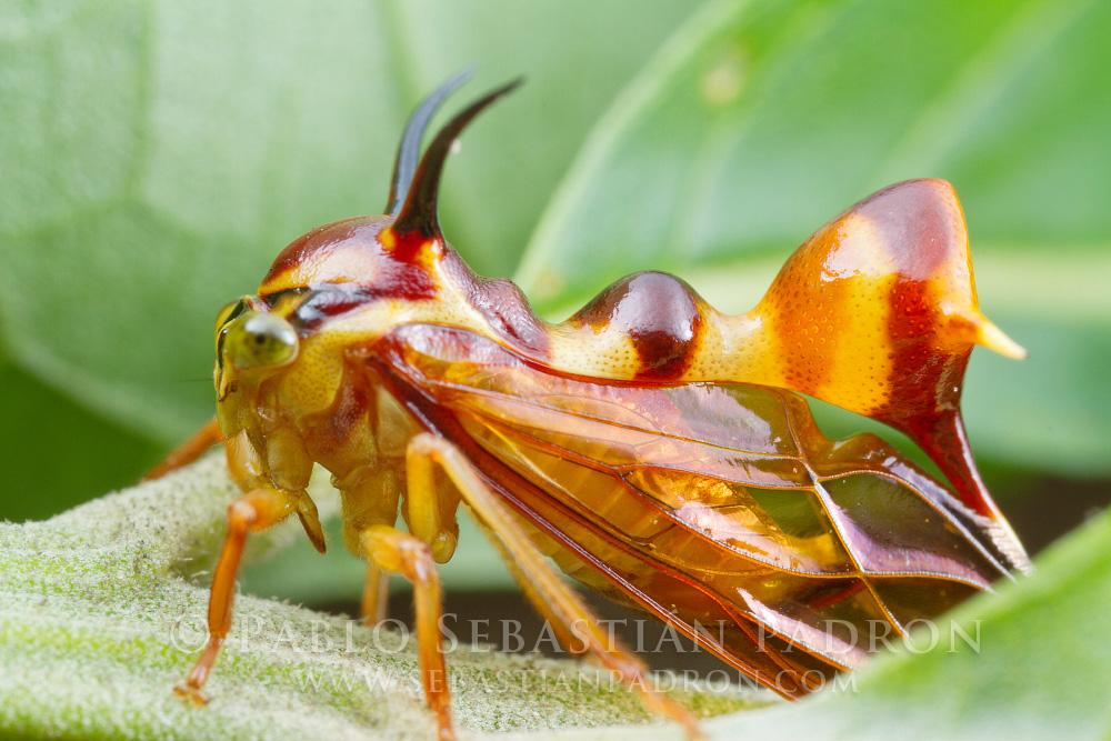 Heteronotus sp. - Ecuador