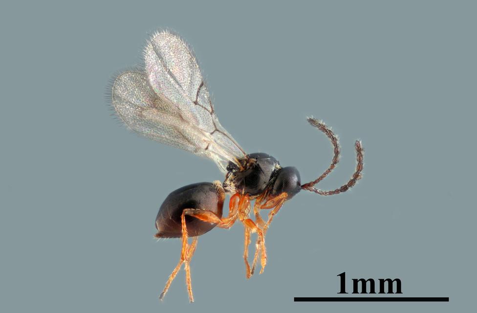 Micro avispa
