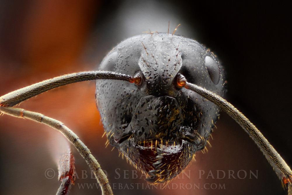 Hormiga 1 - Ecuador
