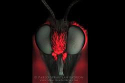 Mimoides thymbraeus
