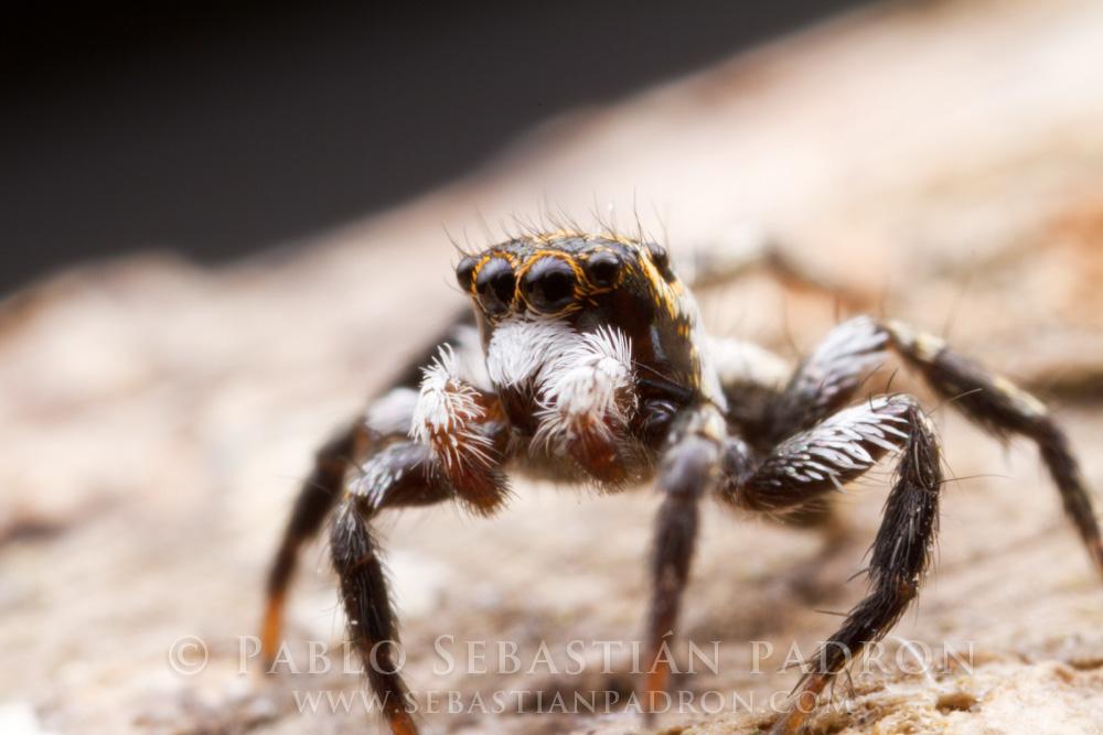 Salticidae 11 - Ecuador
