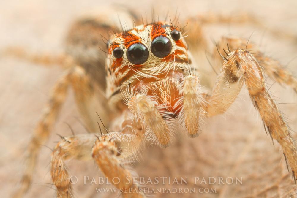 Salticidae 5 - Ecuador