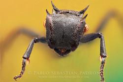 Cephalotes sp.  Ecuador