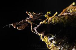 Pseudopogonogaster sp  Ecuador