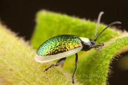 Chrysomelidae 6 - Ecuador
